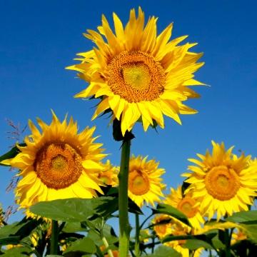 सुंदर पीला सूरजमुखी क्षेत्र , प्रकृति, परिदृश्य, फूल पृष्ठभूमि छवि