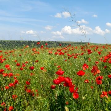 빨간 양 귀 비 꽃 피는 분야 , 필드, 꽃, 꽃 배경 이미지