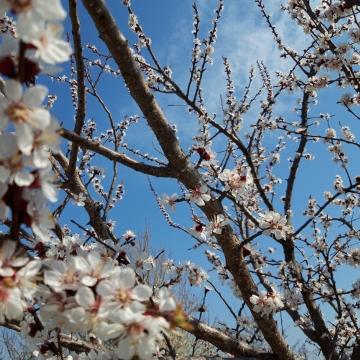pokok plum mekar dengan pemandangan semula jadi bunga putih , Plum Pohon, Bunga-bunga, Mekar imej latar belakang