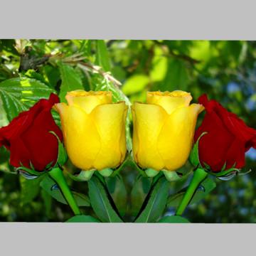 लाल और पीले गुलाब वॉलपेपर , वॉलपेपर गुलाब, गुलाब, गुलाब पृष्ठभूमि छवि