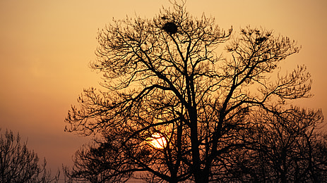 larch in the evening