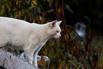 a white cat looking far away