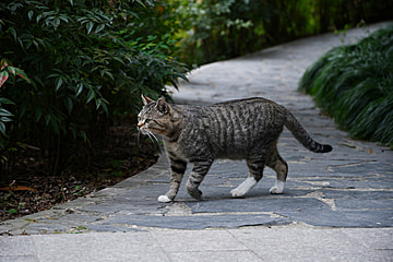 pet tabby cat on the sidewalk in the park
