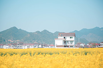 rapeseed flowers and folk houses