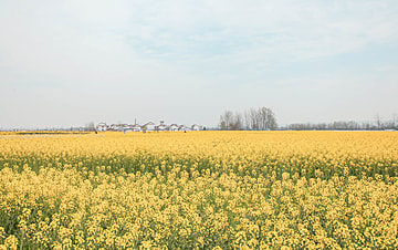 large yellow rapeseed flowers with blue sky and white clouds
