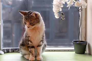 beautiful cute american bobtail cat