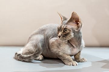 comfortable soft short hair oriental shorthair cat