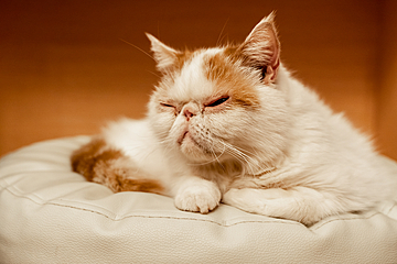 cute and comfortable squinting exotic shorthair cat