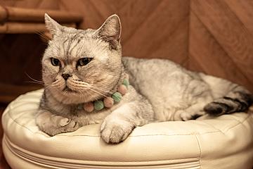 short hair soft exotic shorthair cat on the cushion