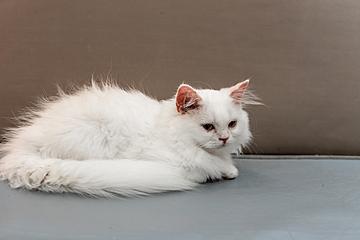 white fluffy beautiful lion cat