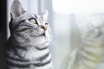 cute beautiful short kitten close up