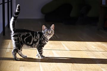 cute walking american shorthair cat