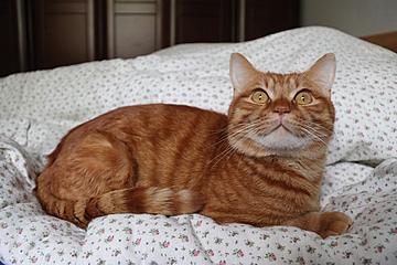watchful european shorthair orange cat