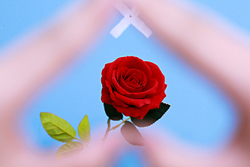 valentines day rose heart shaped background