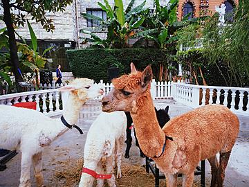 cute alpacas in various colors