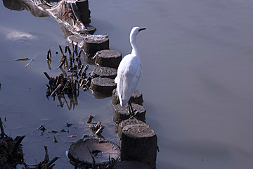 white bird on wooden stake in the river