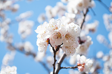 beautiful cherry blossoms under the blue sky