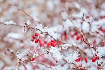 red plum blossoms in the snow
