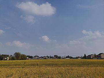 rural golden wheat waves