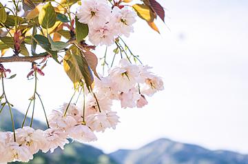 white cherry blossoms in the sun
