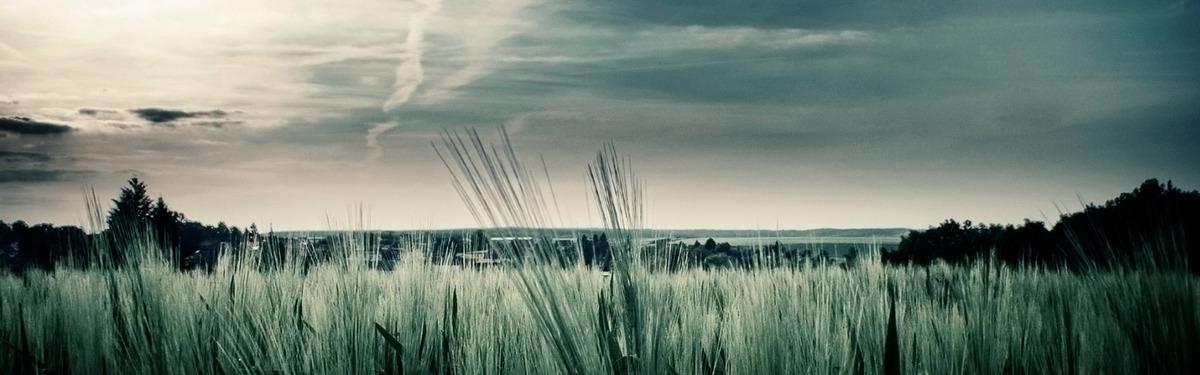 Lúa Mì Chổi Ngày Sau Máy Nền Cỏ Mùa Hè Nước, Hình Nền