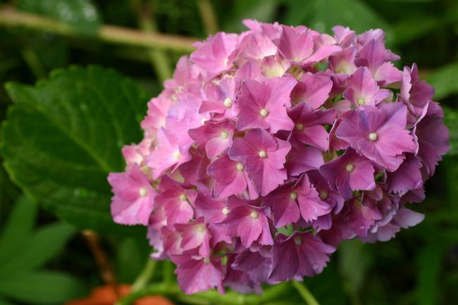 Ortensia arbusto pianta legnosa pianta sfondo fiore rosa giardino