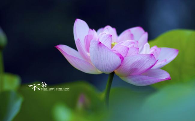 Petalos De Rosa De La Flor De Loto Planta Bloom Floral Imagen De