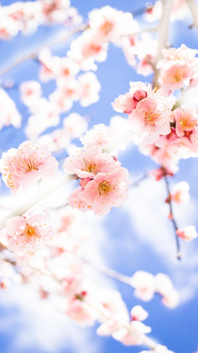 Japan Flower Tree Pink Background Blossom Spring Flowers