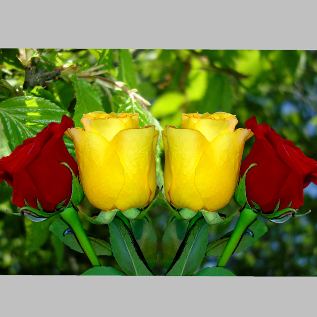 Red And Yellow Roses Wallpaper, Roses Wallpaper, Rose, Roses