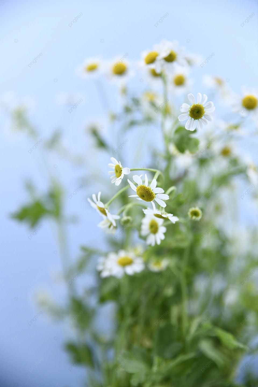 Bunga Daisy Putih Dekoratif Dengan Latar Belakang Biru, Latar Belakang  Biru, Gambar Latar Belakang, Dekorasi Gambar Latar Belakang Untuk Unduhan  Gratis